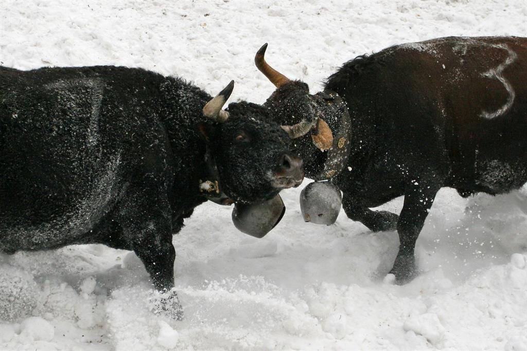 Ringkuhkampf im Schnee Flaschen